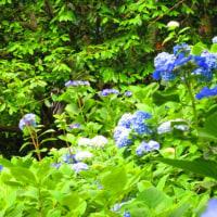 紫陽花の短い季節に、明月院