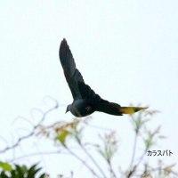 4/29探鳥記録写真(筑前大島の鳥たち:カラスバト、ノジコほか)