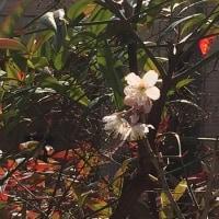 サクランボの花が満開