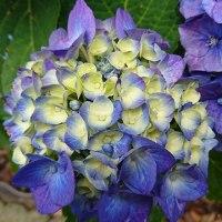 紫陽花の季節 2017