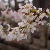 桜 2017(望遠編)