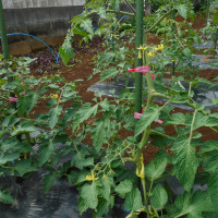 夏野菜の様子を見に畑へ・・・・・・