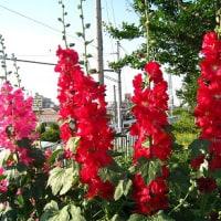 1828話 早くも「真夏」 「暑い花」
