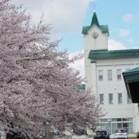 4月28日(金)桜が満開です