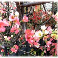 春が一歩一歩…(^^♪春に赤や白の花を咲かせる花木がもう満開の「ボケの花」