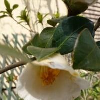 椿とカリンの花