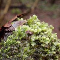渓谷のコケ:小石にたくさんついているアブラゴケ:標本にいただいてきました。