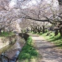2017.4.16千本桜情報