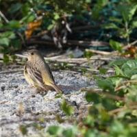 島では、珍鳥チャキンチョウに会うことができた。