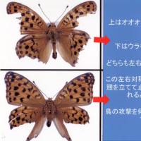 1.チョウやガの翅に残る鳥の嘴によってできた傷から何がわかるか?その2