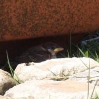 芍薬と雀の子