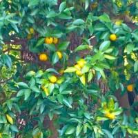 橘始黄(たちばなはじめてきばむ)=七十二候のひとつ