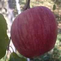 りんごの収穫手伝い