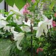 庭の「カサブランカ」が満開を迎えました。