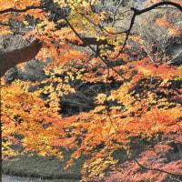 紅葉の終焉・都立庭園・こさのぼ散歩