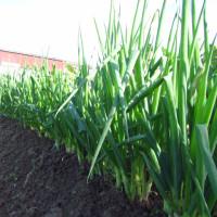 九条ネギ 追肥と土寄せ