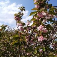 八重桜~♪