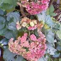 紅葉した紫陽花