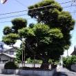 街中の古木