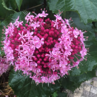 珍しい色の紫陽花