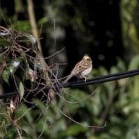朝の野鳥たち モズ・ミヤマホオジロなど
