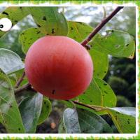 今年の柿の木