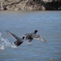 170130-31_越辺川-8 <白鳥 以外の 水鳥>