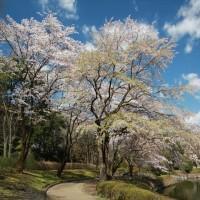 栃木県中央公園の桜