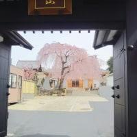 しだれ桜が咲いた/長明寺2017年