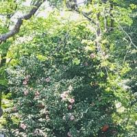 杉山公園 椿