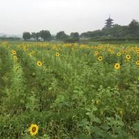 備中国分寺ひまわり開花状況 6月28日