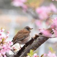 お花見・シロハラ