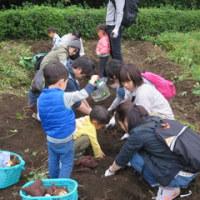 里芋堀りとさつま芋堀り、秋収穫物を試食会で味わおう!