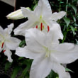 カサブランカという花