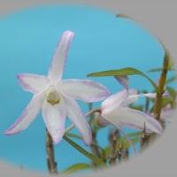 セッコクの花が香りが・・・