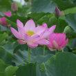 ウチワヤンマと蓮の花