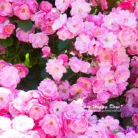 バラの季節♪その2~須磨離宮公園