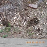 消えてなかったハクサイの苗も庭に植えました