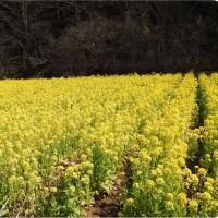 瀬谷:「追分市民の森」の菜の花