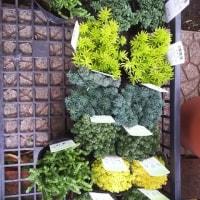 オブツーサトゥルンカータ入荷!多肉・珍しい花たくさん入荷!