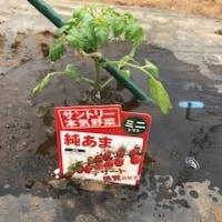 ミニトマト純あま