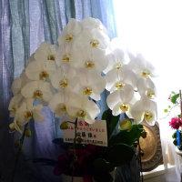 胡蝶蘭の純白さー花川柳
