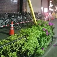 街歩き 第46回 『植え込みに咲くツツジの生命力』