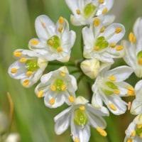 ミヤマラッキョウの花