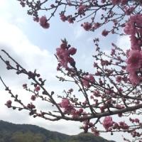 まだ桜ありませんのん