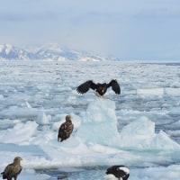 流氷にオジロワシ