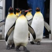王様ペンギンの季節!ですが・・・