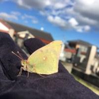 墓地で死にかけていた紋黄蝶