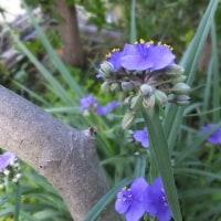 毎朝咲くムラサキ露草。
