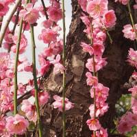 遅い春  (前のお宅の梅の木)